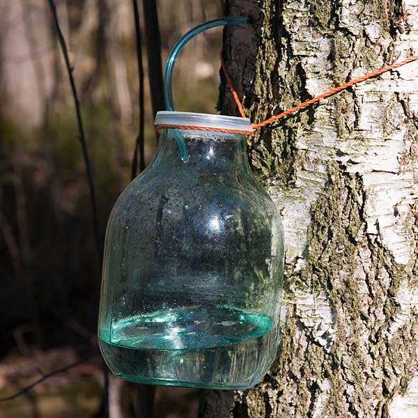 Sève de Bouleau fraîche de Lozère bio - eau de bouleau