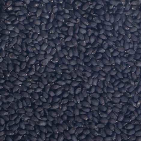 Germline - Organic Basil - Seeds To Sprout