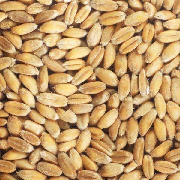 Epeautre bio - Graines à germer