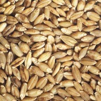 Germline - Orge bio - Graines à germer