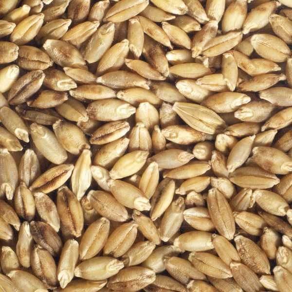 Organic Barley - Seeds To Sprout