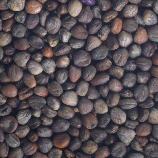 Organic Purple Radish - Seeds To Sprout