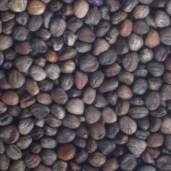 Germline - Radis pourpre bio - Graines à germer