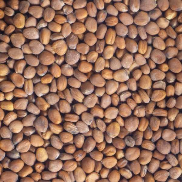 Organic Pink Radish - Seeds To Sprout