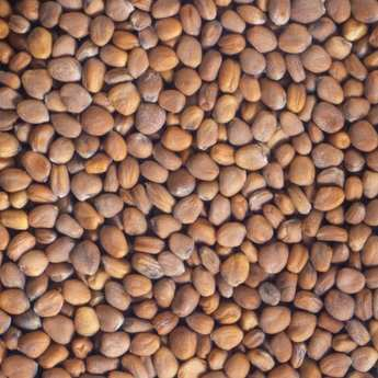 Germline - Organic Pink Radish - Seeds To Sprout