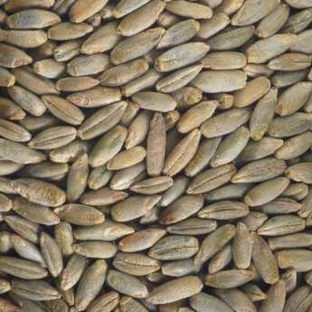 Germline - Seigle bio - Graines à germer
