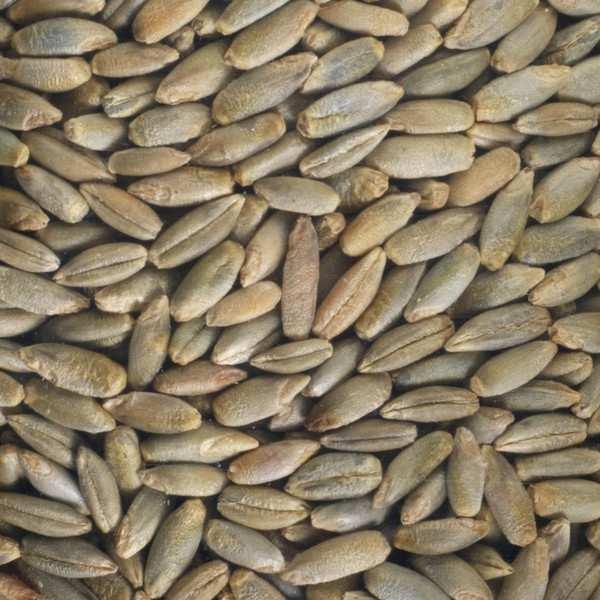 Seigle bio - Graines à germer