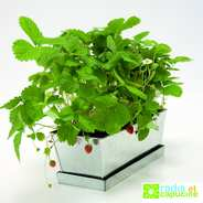 Radis et Capucine - Strawberies Planter
