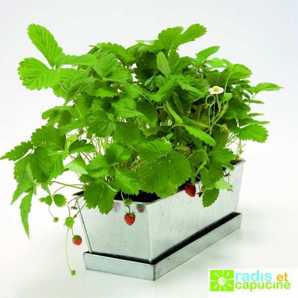Jardinière de fraisiers à faire pousser
