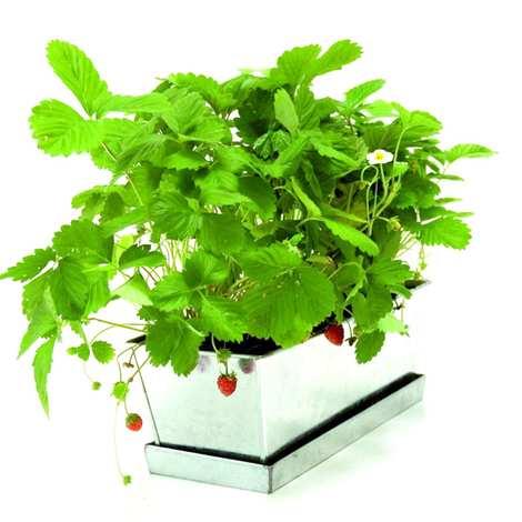 Radis et Capucine - Jardinière de fraisiers à faire pousser