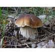 Borde - Preserved Cep Mushrooms
