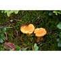 Borde - Preserved Yellow Chanterelles