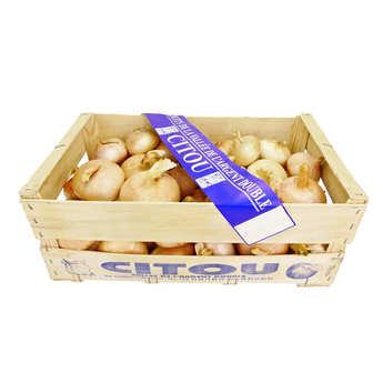 Société Conrié - Sweet onions from Citou