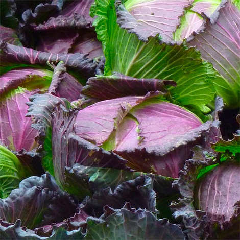 - Organic Pontoise Cabbage from France