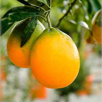 - Oranges ovale calabrese de Sicile bio