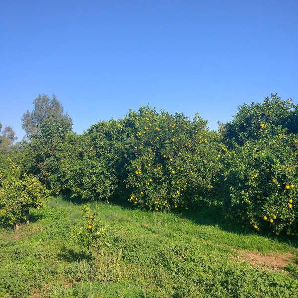 Oranges navel de Grèce bio